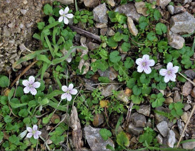 Erodium reichardii
