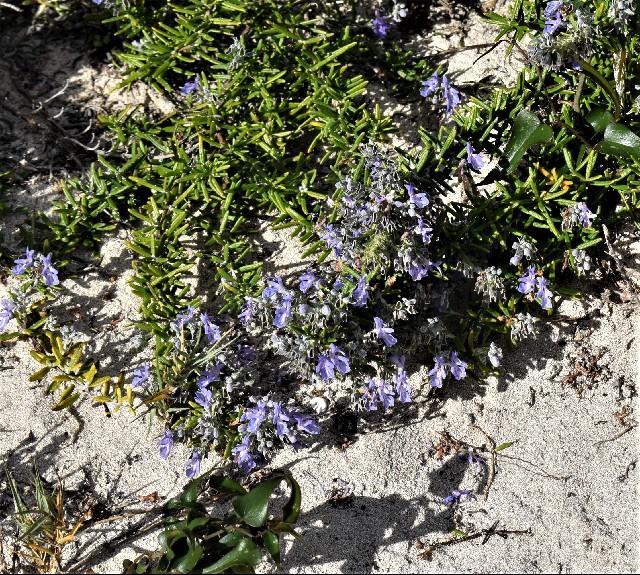 Rosmarinus officinalis var. balearica
