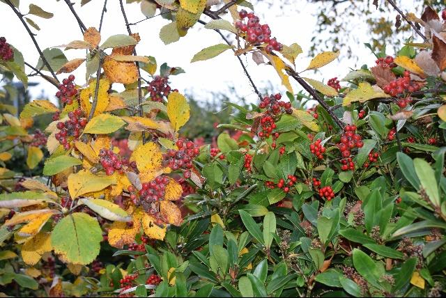 Sorbus lancastriensis